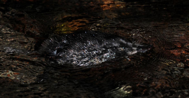 Desman des Pyrénées nageant à la surface de l'eau © Frédéric Blanc – CEN MP